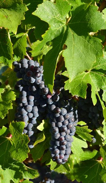 grapes on vine rising star wines